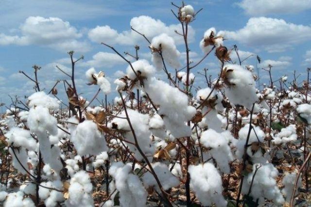 Vải cotton làm từ sợi bông